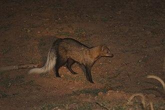 White-tailed mongoose - Image: White tailed mongoose (Ichneumia albicauda)