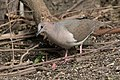 White-tipped Dove National Butterfly Center Mission TX 2018-02-28 15-39-32 (40620764122).jpg