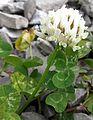 White Clover (Trifolium repens) - Flickr - Jay Sturner.jpg