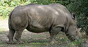 White Rhinoceros at the Henry Doorly Zoo.