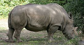 White Rhinoceros.jpg