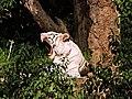 White Tiger Yawning.jpg