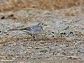 White Wagtail (Motacilla alba) (45685556491).jpg
