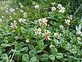 White clover2.jpg
