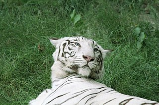 Captive white tigers