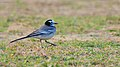 White wagtail at IIT Delhi.jpg