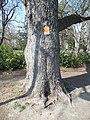 Wiener Naturdenkmal 827 - Baumhasel (Döbling) g.JPG