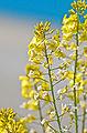 Wild Mustard.jpg