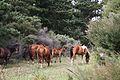 Wild horses at Kapowairua, Northland, New-Zealand.jpg