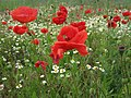 Wild poppies on Black Sea coast near Vama Veche.jpg