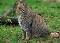 Wildcat (131154299).jpeg