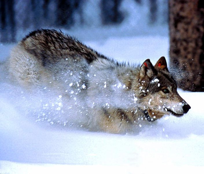 wiki history wolves yellowstone