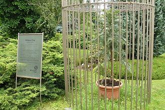 Botanical Garden of the Comenius University - Wollemia nobilis inside the Botanical Garden of the Comenius University in Bratislava