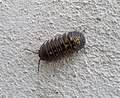 Woodlouse (32613173802).jpg