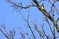 Woodpecker (6858675529).jpg