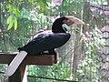 Wreathed hornbill (7856797868).jpg
