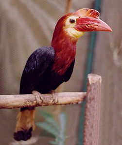 Writhed-billed Hornbill (Bentley).jpg