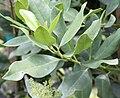 X Ironwood Tree Olea capensis LeafDetail 1.jpg