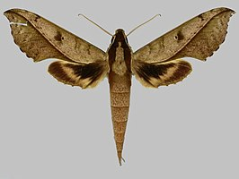 Xylophanes cosmius BMNHE273441 male up.jpg