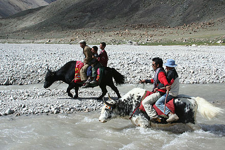 Yak racing in Shimshal Pass, Pakistan. - Yak