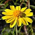 Yellow-buttons (Balduina angustifolia) (6338647090).jpg