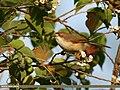 Yellow-eyed Babbler (Chrysomma sinense) (31288601603).jpg
