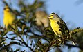 Yellow-fronted canary, Crithagra mozambicus, at Pilanesberg National Park, Northwest Province, South Africa (28203483080).jpg