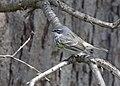 Yellow-rumped Warbler (34112705602).jpg