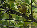 Yellowhammer, Biebrza National Park, Poland (4663978227).jpg