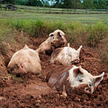 Yorkshire pigs at animal sanctuary.jpg