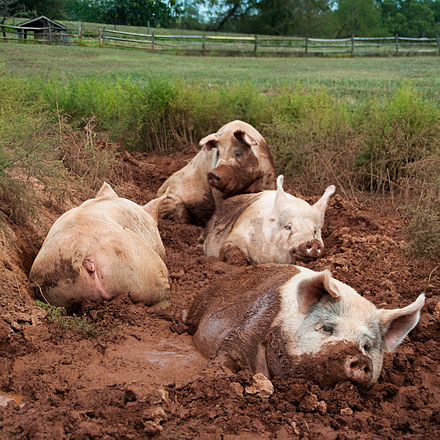 Domestic pigs in a wallow Yorkshire pigs at animal sanctuary.jpg