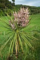 Young cabbage tree flowering with pink bracts.jpg
