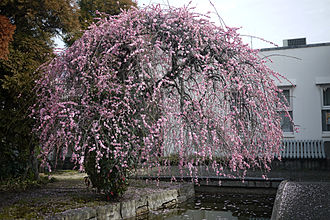 Prunus mume - Weeping plum tree cultivar