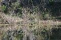 Zambullidor Menor - panoramio.jpg