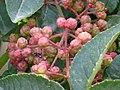 Zanthoxylum piperitum Sichuan. fruit.jpg