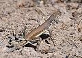 Zebra-tailed Lizard (33058950934).jpg