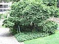 Zelkova serrata, Bercy 2.jpg