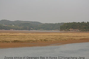 Gwangpo Bay - Seashore lawn grass (Zoysia sinica) of Gwangpo Bay in South Korea