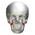 Zygomatic process of maxilla - skull - anterior view.png