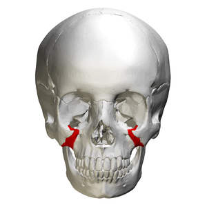 Zygomatic process of maxilla - Zygomatic process shown in red.