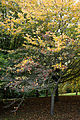 'Crataegus x Lavallei' - Beale Arboretum - West Lodge Park - Hadley Wood - Enfield London.jpg