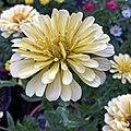 'Creamy Yellow' zinnia IMG-3739.jpg