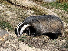 'Honey' the badger in daylight.jpg