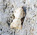 (1050) Acleris kochiella - Flickr - Bennyboymothman.jpg