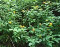 (Lantana camara) bushes at IGZoo park 02.JPG