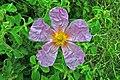 Τσαλακομένο Λουλούδι - panoramio.jpg