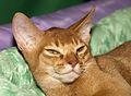 Абиссинский кот (5352441646).jpg