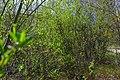 Весенняя зелень - panoramio (2).jpg