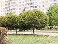 Дерева вздовж проспекту 40 років Перемоги, м. Первомайський, Харківська область.jpg
