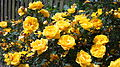 Жовта троянда.JPG